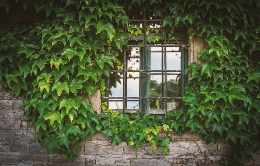 Window grille covered with vines