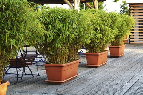 Privacy plants for patio